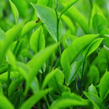 Saison Organic Green Tea Skincare