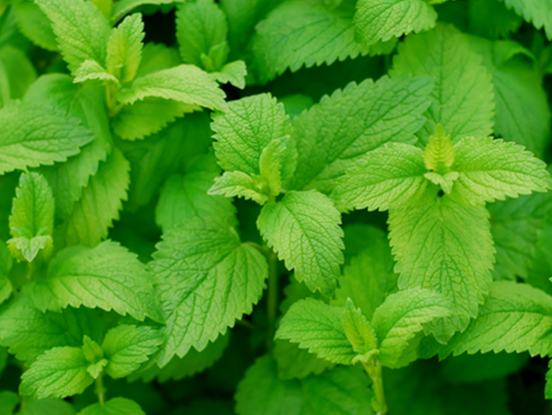 Saison Organic Skincare Ingredients Lemon Balm
